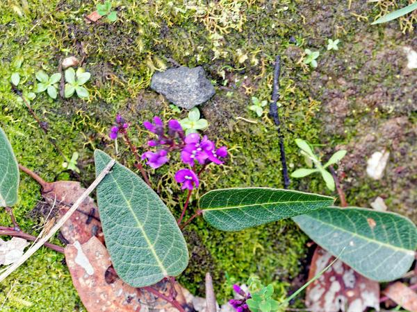 Hardenbergia-violacea-1.jpeg