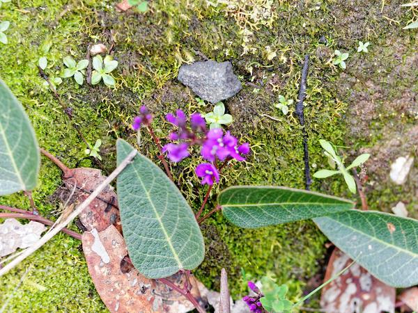 Hardenbergia-violacea-2.jpeg