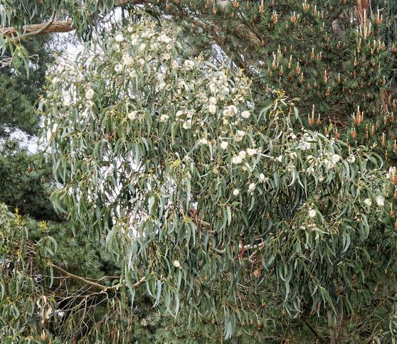 Eucalyptus-flower-detail.jpeg
