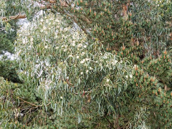 Eucalyptus-flower.jpeg